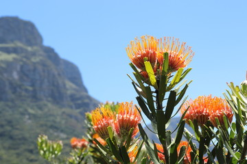 Pin cushion fynbos flowers with Cape Town mountains in the background.
