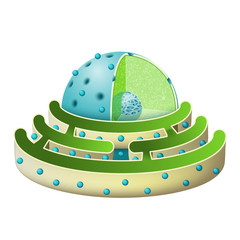 Structure of Nucleus and Rough endoplasmic reticulum