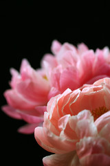 Vibrant Pink Peony Flowers Against A Black Background