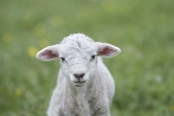 Young Lamb Staring At The Camera