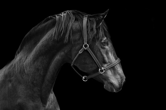 Portrait of a horse on a black background in Black and white