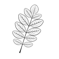 black and white vector illustration of the acacia sheet