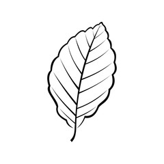 black and white vector illustration of a beech leaf