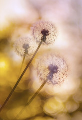 Bright dandelion on a light background