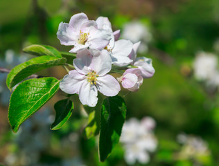 Closeup of apple blossom flowers.