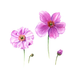 Watercolor anemone flowers and buds. Hand drawn single flower isolated on white background. Artistic floral element. Botany illustration