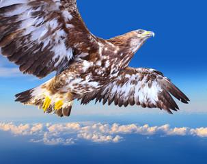 Golden eagle soaring over a clouds.