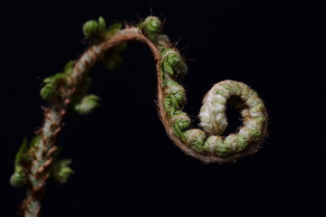 Unfolding fiddle head fern leaves