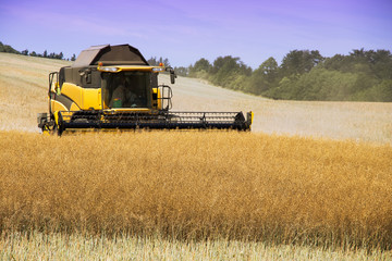 Combine harvester working on harvest of rapeseed field. Work on agricultural land during the summer.
