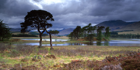 Twisted Scots Pines Loch Tulla, Bridge of Orchy, Scotland