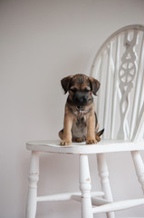Border Terrier Puppy sitting on a chair