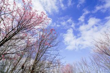Cherry Blossom Sakura flowers with blue sky