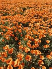 Orange Poppy Wildflowers