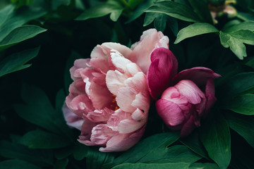 tree peonies in varying shades of pink