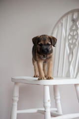 Border Terrier sitting on a chair