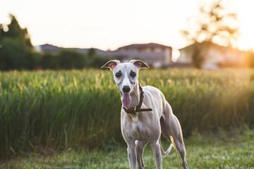 Beautiful Dog Portrait and Sunset
