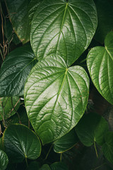 Leathery green leaves of an exotic plant