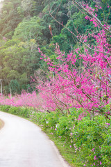Cherry Blossom Pathway road in Chiang Mai, Thailand..Landscape of pink Cherry blossom flower or Sakura flower with road