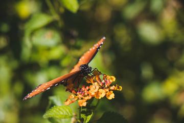 Closeup monarch butterfly