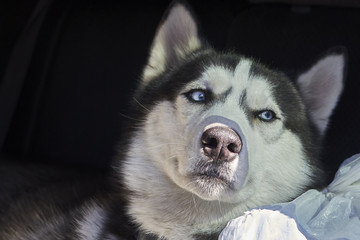 Dreamy view of the Siberian husky dog black and white color with blue eyes.