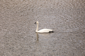 Swan or White Goose with Black Bill