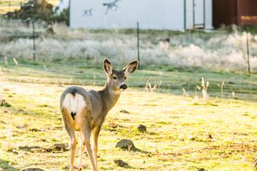 Wild Deer Standing in Yard