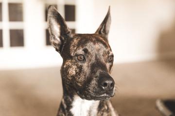 Mixed Pit Bull Dog