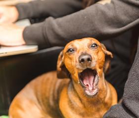 Cute Dachshund Yawning