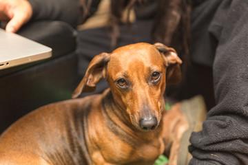 Adorable Brown Dachshund