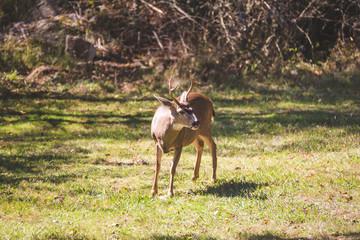 Male Deer or  Buck Standing in Grass