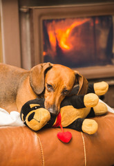 Dachshund Dog Playing with Toy