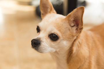 Old Chihuahua Dog