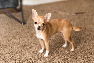Cute Chihuahua Puppy on Carpet