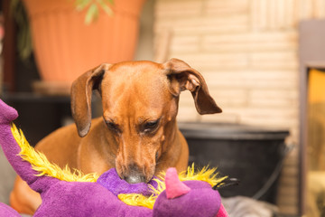 Dachshund Playing with Purple Toy