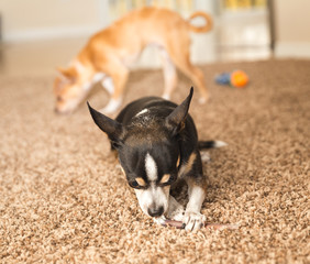 Black Chihuahua with Chew Toy
