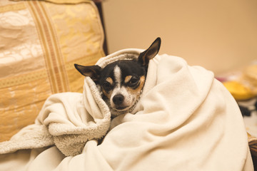 Chihuahua in Cozy Blanket