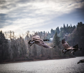 Canadian Geese Flying near River