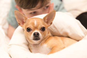 Cute Chihuahua and Young Boy