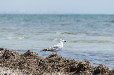 Audouin's Gull, Larus audouinii. It is an endangered gull restricted to the Mediterranean and the western coast of Saharan Africa. Photo taken in Santa Pola, Alicante, Spain.
