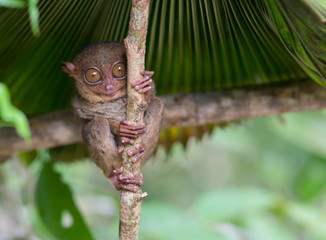 Smiling cute tarsier sitting on a tree,  Bohol island, Philippines