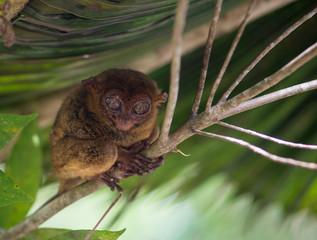 Fototapeten Eichhornchen Smiling cute tarsier sitting on a tree, Bohol island, Philippines