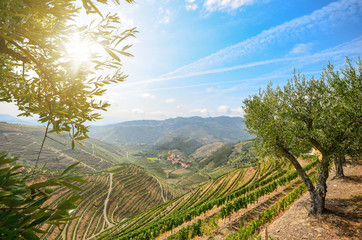 Wall Murals Vineyard Vineyards and olive trees in the Douro Valley near Lamego, Portugal Europe
