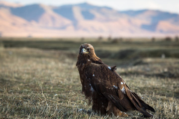 Golden eagle sits on land in the Mongolian steppe.