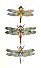 Illustration of a dragonfly