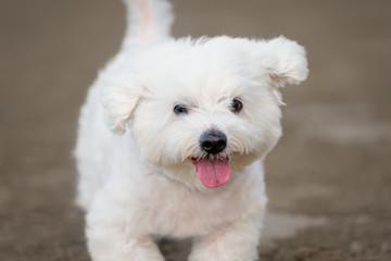 Maltese dog running outdoors