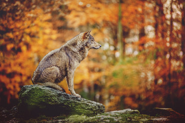 Poster Wolf Wolf Sitting on the Stone in Autumn Forest.