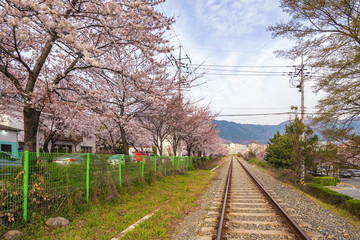 Spring Cherry blossom festival at Gyeonghwa Station, Jinhae, South Korea