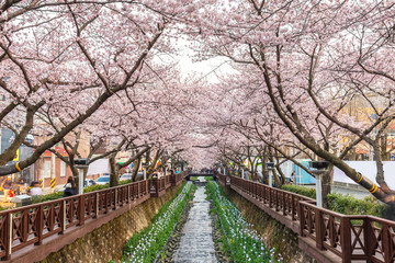 Spring Cherry blossom festival at Yeojwacheon Stream, Jinhae, South Korea