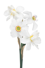 Poster Narcisse bunch of white narcissus four flowers