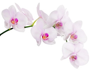 Poster Orchidee isolated branch with seven light pink orchid blooms
